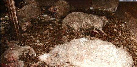 овцы пострадали от чупакабры