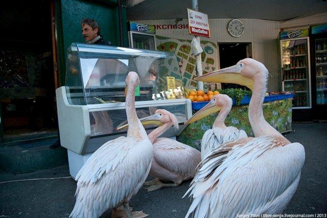 пеликаны 2
