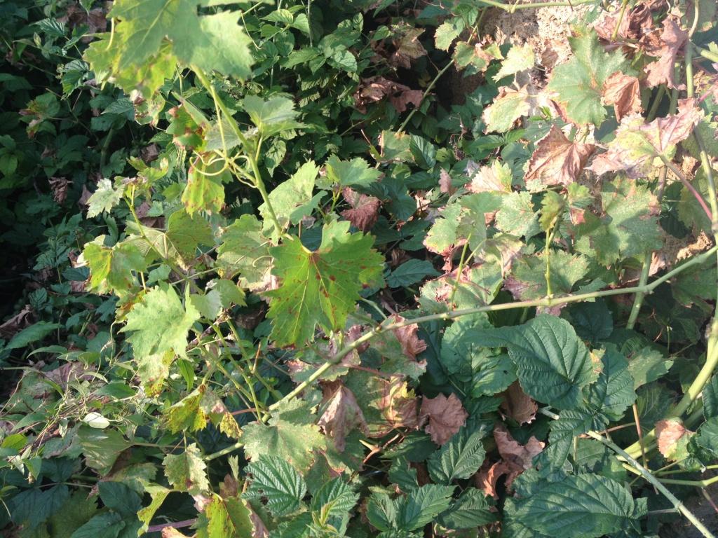 виноградник после шаровой молнии