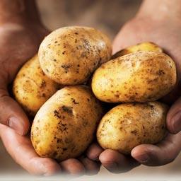 картошка в руках