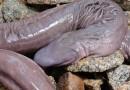 Ученые обнаружили неизвестное науке существо, напоминающее пенис