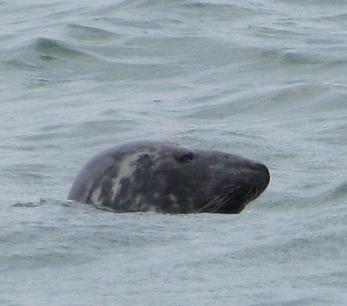 В Черном море у берегов Крыма завелся серый тюлень