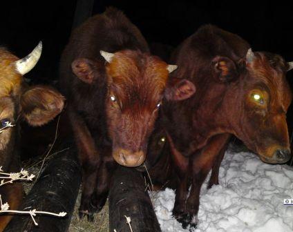 В Керчи замерзшие и голодные коровы