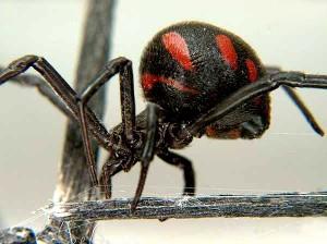 паук-каракурт
