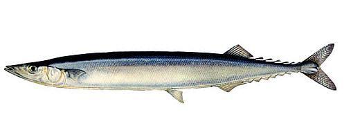 Рыба сайра