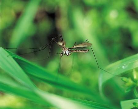 3-14-09-mosquito